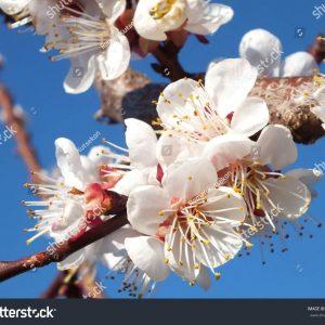 63 ngàn hình ảnh hoa mai trắng tuyệt đẹp chất lượng cao trên Shutterstock