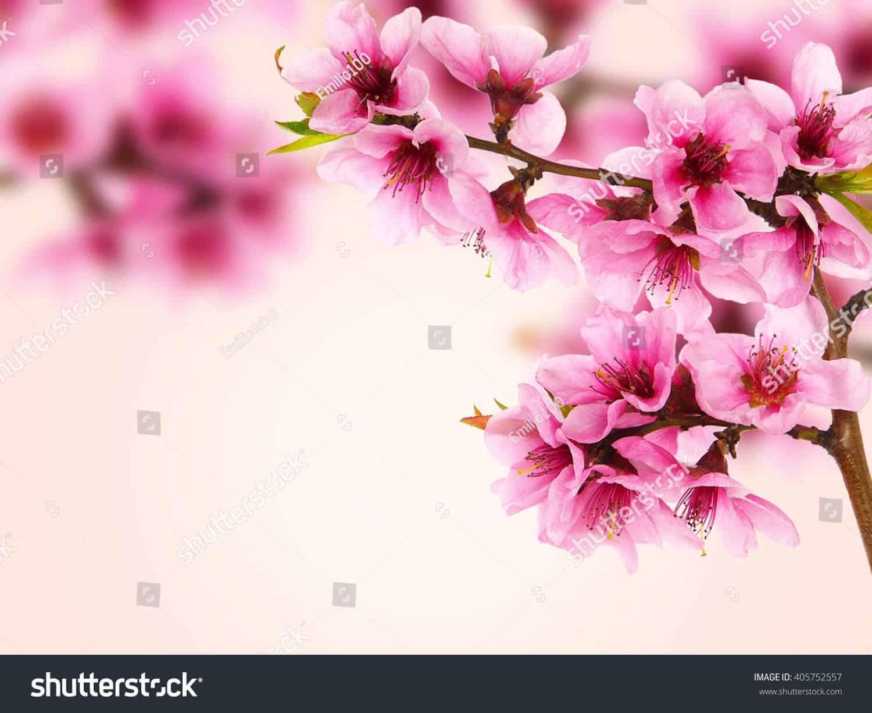 100 ngàn hình ảnh hoa đào chất lượng cao trên Shutterstock