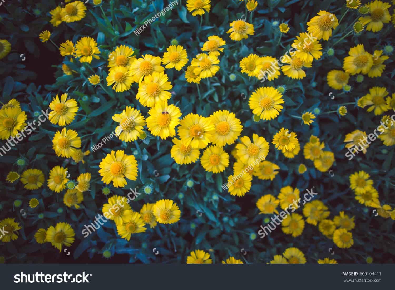 525 ngàn hình ảnh hoa cúc vàng chất lượng cao trên Shutterstock