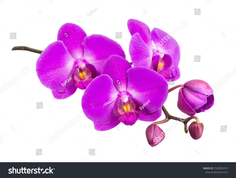 770 ngàn hình ảnh hoa lan chất lượng cao dành cho in ấn trên Shutterstock